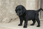 fotka Flat coated retriever