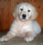 fotka Golden retriever